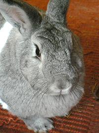 Portia a Chinchilla bunny rabbit