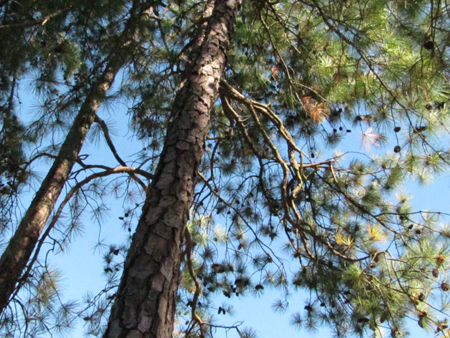 Blue sky through pine trees