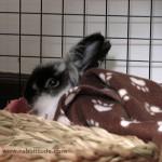 Leo Linus the Lionhead rabbit & blankie