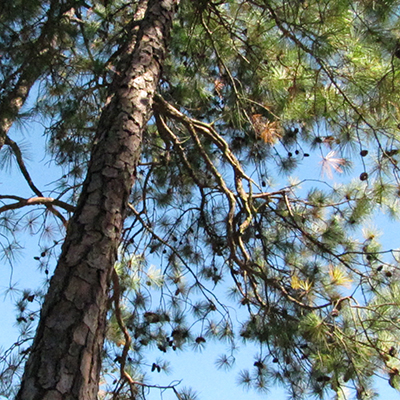 Rabbittude Updates: Georgia pines against a bright blue sky are hiding a secret